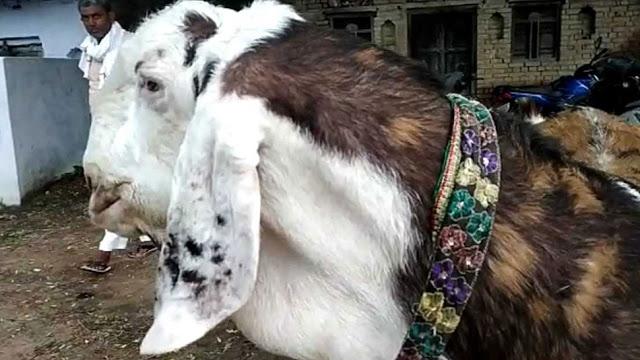 इस बकरे की कीमत है 8 लाख, खाता है काजू-बादाम...