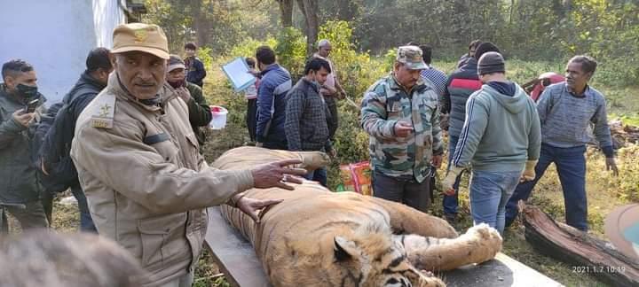 कार की टक्कर से बाघ की मौत