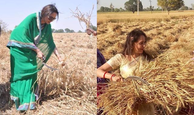 हेमा मालिनी के बाद जयाप्रदा ने भी काटी गेहूं की फसल