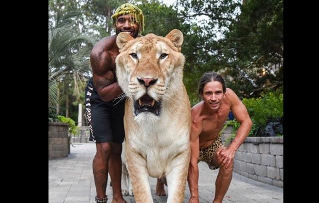 आधा शेर-आधा बाघ है ये जानवर