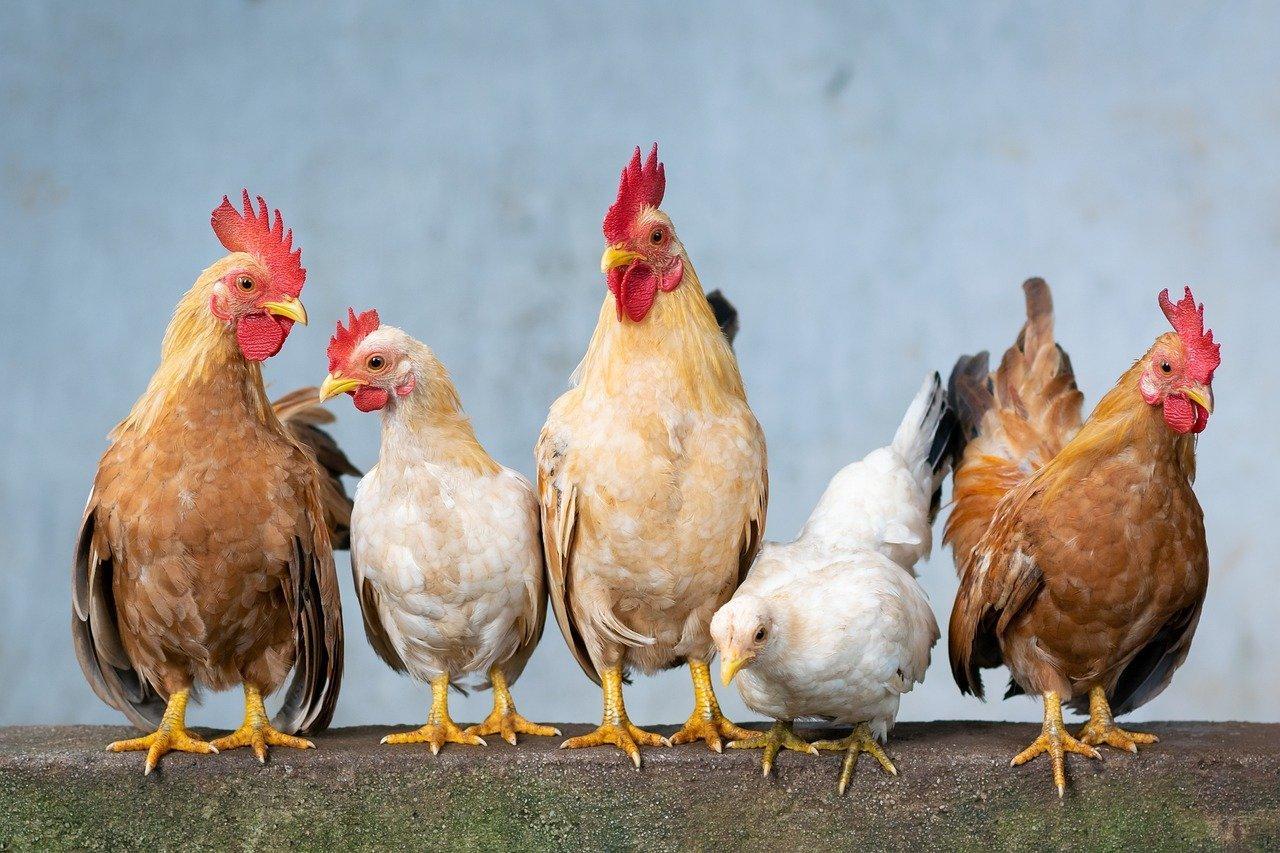 बर्ड फ्लू को लेकर जिला प्रशासन अलर्ट, मार दिया 200 मुर्गियो को, आइसोलेशन वार्ड तैयार