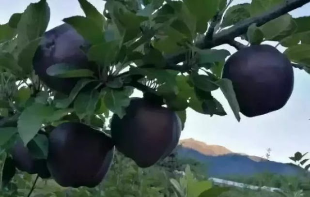 खुशनसीब वालों को मिलता है काला सेब, कीमत जानकर रह जाएंगे दंग